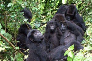 african-gorillas